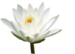 Biely lotosový kvet