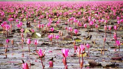 Lotosové pole